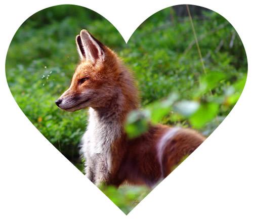 fox_heart